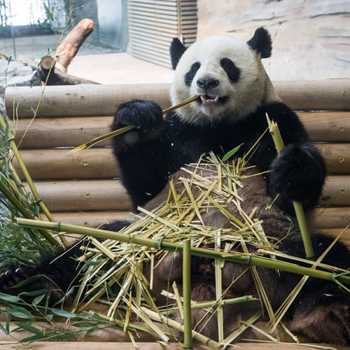 Jiaoqing_Eroeffnung_Pandagarden_Zooberlin2017